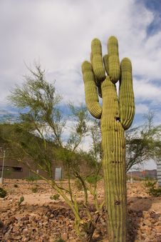Free Saguaro Cactus Royalty Free Stock Photo - 9278685