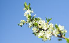 Free Low Angle Photo Of White Clustered Flowers And Tiny Leaf Royalty Free Stock Photo - 92753285