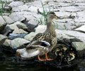 Free Duck Family Royalty Free Stock Image - 9284546