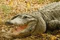 Free Alligator Stock Images - 9285694