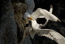 Free Fighting Birds Kittiwakes Royalty Free Stock Images - 9280179