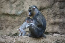 Free Mandrill Family Stock Photos - 9280853