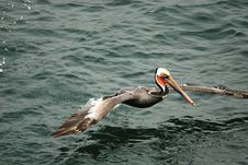 Free Pelican Fishing Royalty Free Stock Photography - 9281277