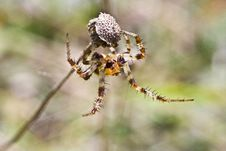 Free Spider Of Embrace Royalty Free Stock Image - 9281336