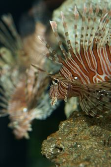 Free Lionfish (Pterois Volitans) Royalty Free Stock Photos - 9281338