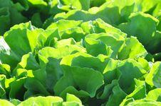 Free Lettuce Stock Photos - 9281933