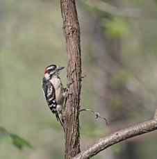 Free Downy Woodpecker Royalty Free Stock Image - 9282326