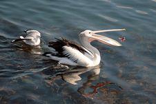 Free Pelican Eating Fish Royalty Free Stock Photos - 9282518