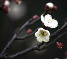 Free The White Plum Blossom Royalty Free Stock Photos - 9284818