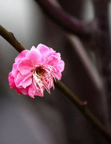 Free Plum Blossom Stock Images - 9284844