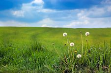 Free Dandelions Royalty Free Stock Photo - 9285215