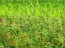 Free Farm Crops - Water Bamboo And Duckweed Royalty Free Stock Photography - 9285287