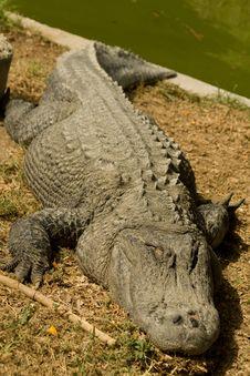 Free Crocodile Stock Image - 9285631