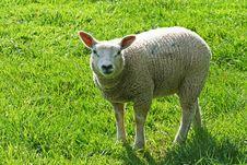 Free Lamb Royalty Free Stock Photos - 9286048