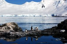 Free Gentoo Penguin Royalty Free Stock Photography - 9287277