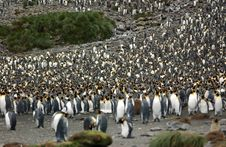 Free King Penguin Royalty Free Stock Image - 9287346
