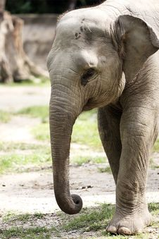 Free Malayan Elephant Stock Photography - 9287712