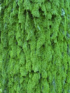 Free Moss Texture Macro Royalty Free Stock Image - 9287836