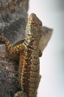 Free Brazilian Lizard Royalty Free Stock Images - 9287909