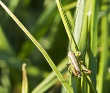 Free Grasshoper In Natural Environment Stock Photo - 9288640
