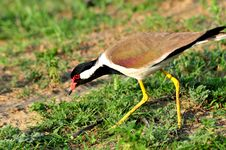 Red Wattled Lapwing Stock Photo