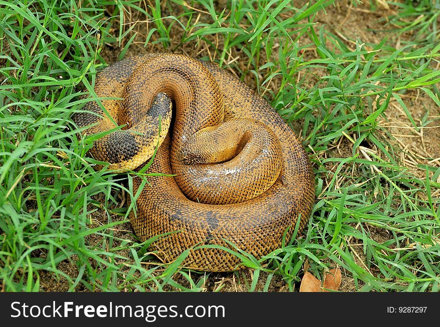 Common rat snake