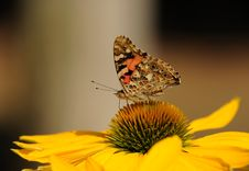 Free Brown And Black Butterfly On Top Of Yellow Sunflower On Macro Lens Royalty Free Stock Images - 92801269