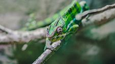 Free Green Lizard On The Branch During Daytime Stock Photos - 92882203