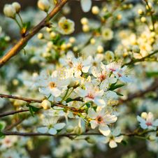 Free Cherry Blossom On Cherry Tree Royalty Free Stock Photos - 92882808
