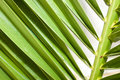 Free Palm Leaf Royalty Free Stock Images - 9291369