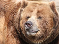Free Grizzly Bear Royalty Free Stock Image - 9296626