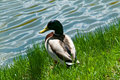 Free Duck Sitting On The Pond Shore Stock Image - 9299871