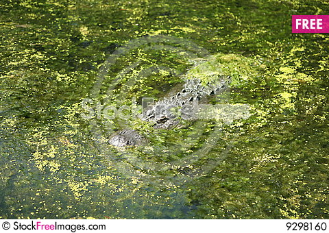 Free Alligator In Algae Verticle Stock Photo - 9298160