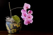 Phalaenopsis (Moth) Orchid Stock Image