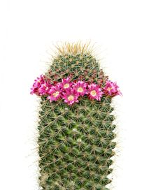 Free Flowering Cactus Royalty Free Stock Photography - 9292927