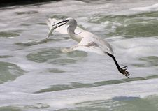 Egret Getting Fish Stock Image