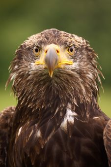 Free Young Bald Eagle Looking At You Stock Image - 9293921