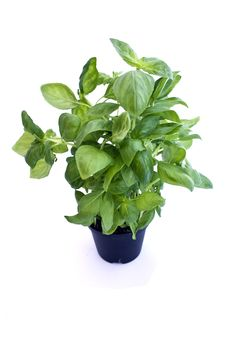 Free Basil Isolated Stock Images - 9294524