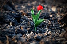Free Red Tulip In The Field Stock Photography - 9294742