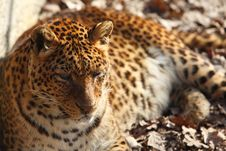 Free Jaguar Stock Image - 9295931