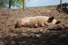 Free Pig Sleeping Royalty Free Stock Photos - 9296468
