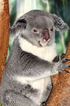 Free Koala Bear Royalty Free Stock Photos - 9296748