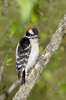 Free Downy Woodpecker Royalty Free Stock Photography - 9298137