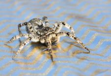 Free Gray Wolf Spider Stock Photo - 9299250