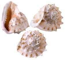 Free Seashell Royalty Free Stock Images - 9299349