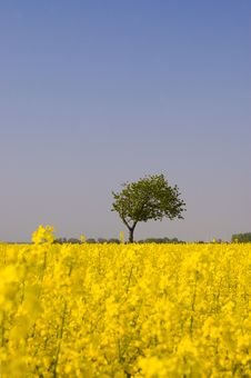 Free Canola Field Stock Photography - 9299542