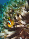 Free Clown Fish Stock Images - 932674