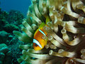 Free Clown Fish Royalty Free Stock Photos - 932708