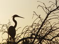 Free Egret At Sunset Stock Images - 934634