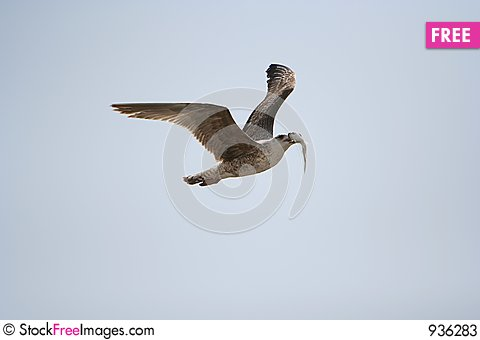 Free Seagull Eat Fish Stock Photos - 936283